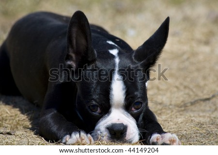Boston Terrier sitting back soaking up some sun! - stock photo
