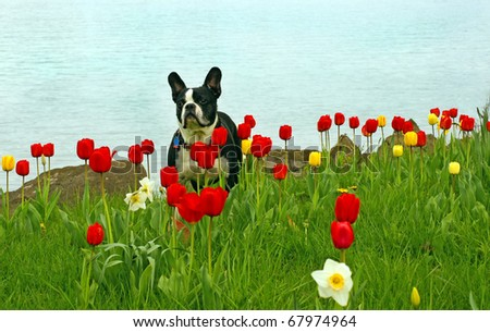 Boston Terrier standing in a field of tulips - stock photo