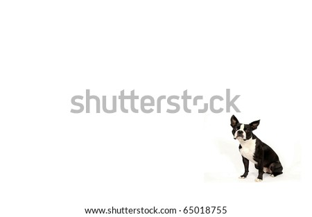Boston Terrier Wallpaper Stock Photo 100 Legal Protection