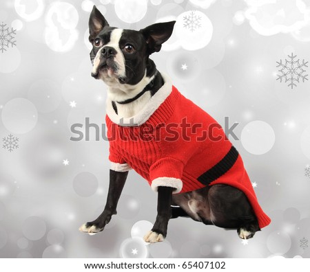 boston terrier with christmas background - stock photo