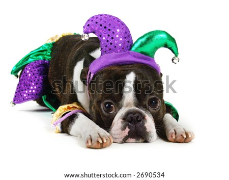 Boston terrier with jester costume on - stock photo