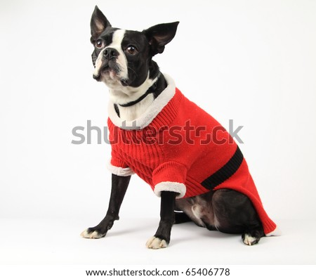 boston terrier with santa coat on dressed for christmas - stock photo