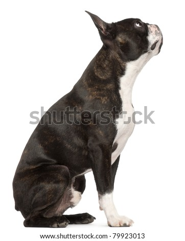 Boston Terrier, 1 year old, sitting in front of white background - stock photo