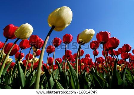 Boston Tulip - stock photo