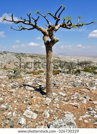 Boswellia - frankincense tree - Socotra island  - stock photo