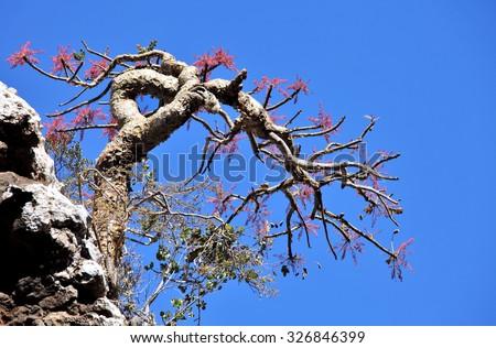 Boswellia tree, a frankincense tree in blossom  - stock photo
