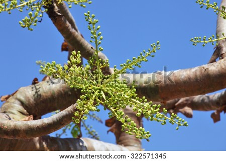 Boswellia tree - frankincense - flower buds - stock photo