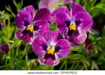 Botanic gardening plant nature image: group of three bright violet pansy (viola tricolor, Viola cornuta) closeup among green plants over blurred background. - stock photo