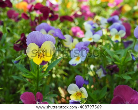 Botanic gardening plant Pansies and Violas over blurred background.(Selected Focus) - stock photo