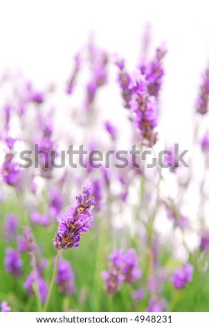 Botanical background of blooming purple lavender herb isolated on white