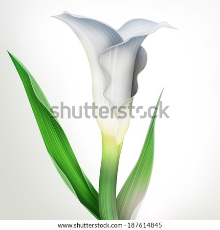 Botanical illustration of calla lily flower with green leaves isolated on white background - stock photo