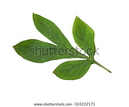 Botanical peony leaf isolated on white background - stock photo