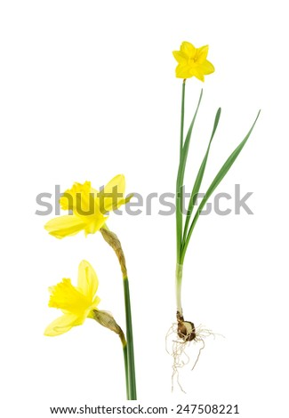 Botanical study of daffodil: bulbs, roots, leaves, stems and flowers. Isolated on white. - stock photo