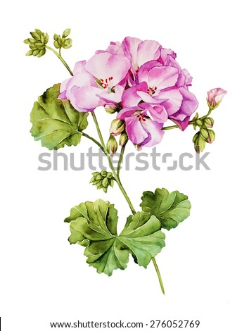 Botanical watercolor painting with Geranium flower in summer bloom - stock photo