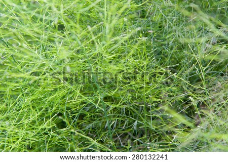 botany, nature, biology, eco and flora concept - green grass or herb outdoors - stock photo