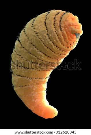 Botfly ,Bot fly larva or Gasterophilus parasitic fly larva - stock photo