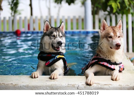 Both of siberian husky dogs wear life jacket play together in swimming pool, dog swimming, happy dog, dog activity - stock photo