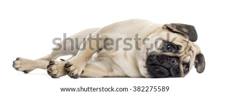 Bothered Pug lying down, isolated on white - stock photo