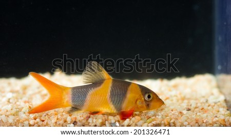 Botia fish in aquarium. - stock photo