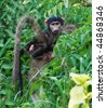 Botswana, Okavango delta, Chobe, baby baboon carried in the back by the mother - stock photo