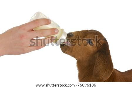 bottle feeding baby goat on white background - stock photo