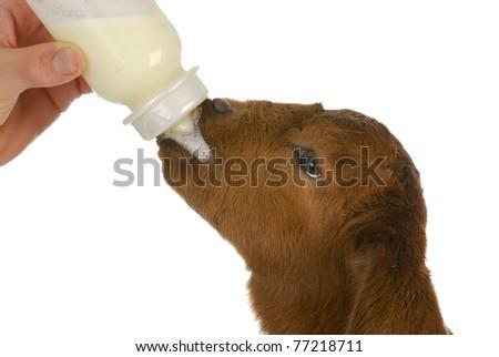 bottle feeding baby goat - south african boer kid 4 days old - stock photo