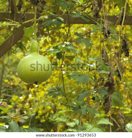 Bottle Gourd hanging from the Tree - stock photo