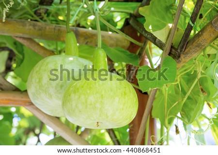 Bottle Gourd in plant - stock photo