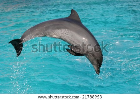 Bottle nose dolphin jumping in clear blue sea water