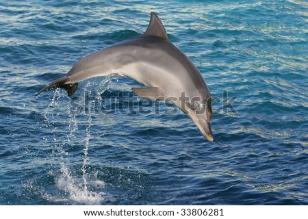 Bottle-nose dolphin jumping out of blue water - stock photo