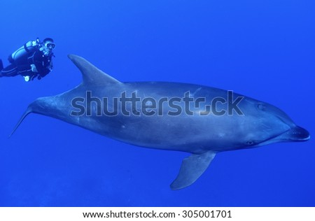 BOTTLE NOSE DOLPHIN SWIMMING ON BLUE WITH DIVER - stock photo