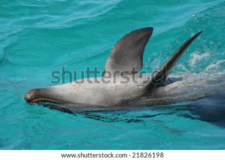 Bottle nose dolphin swimming upside down - stock photo