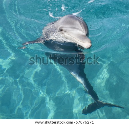 Bottle-nosed dolphin in the Red sea. - stock photo
