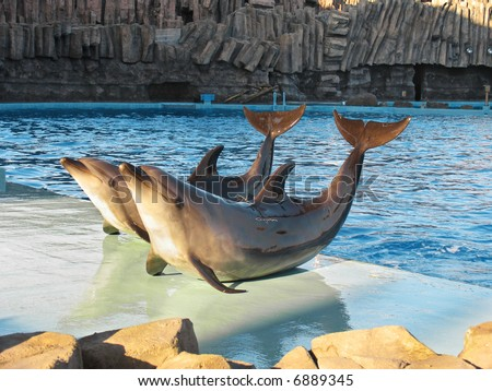 Bottle-nosed dolphins Tursiops truncatus in the water park - stock photo