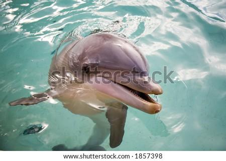 Bottle nosed porpoise - stock photo