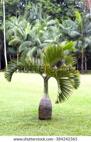Bottle palm tree (Hyophorbe). Mauritius - stock photo