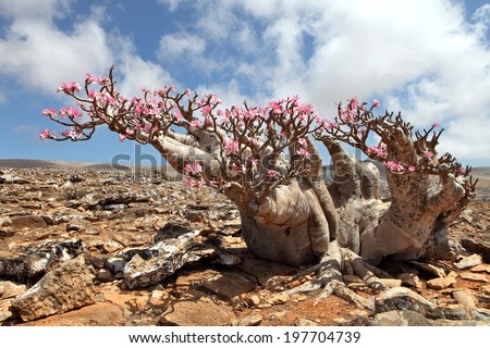 Bottle tree in bloom - adenium obesum - endemic tree of Socotra Island - stock photo