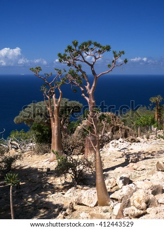 Bottle tree, Socotra Island, Yemen