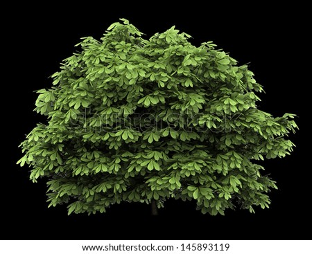bottlebrush buckeye bush isolated on black background - stock photo