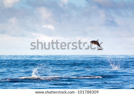 Bottlenose dolphin jumping at the Azores - stock photo