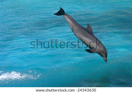 Bottlenose dolphin jumping in clear blue water - stock photo