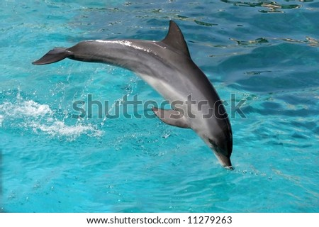 Bottlenose dolphin jumping out of the blue water - stock photo