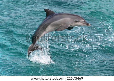 Bottlenose dolphin leaping clear out of the water - stock photo