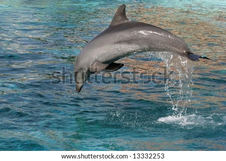 Bottlenose dolphin leaping out of the blue water - stock photo