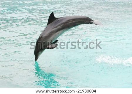Bottlenose dolphin leaping out of the blue water