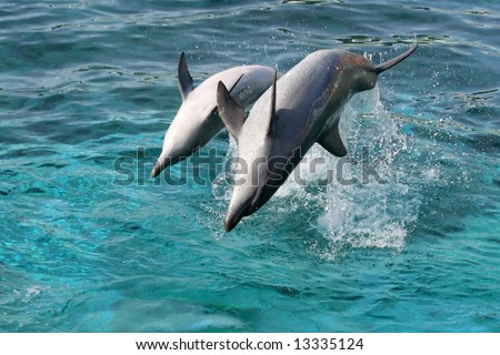 Bottlenose dolphin leaping out of the blue water onto their backs - stock photo