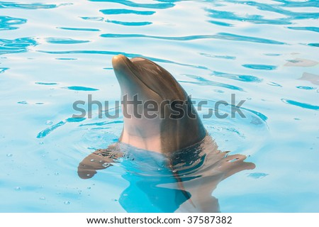 Bottlenose Dolphin Looking out of the water - stock photo