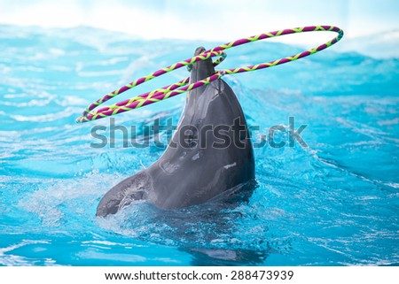 Bottlenose dolphin playing with hoops in the water - stock photo