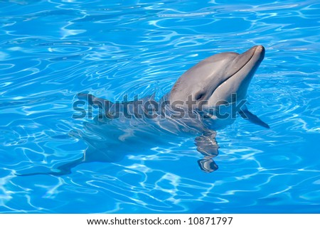 Bottlenose Dolphin swimming along with its head above water