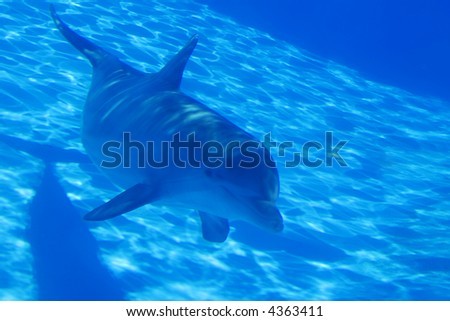 Bottlenose dolphin swimming by in an aquarium